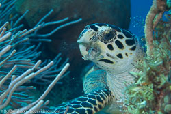 BD-101208-Cozumel-2885-Eretmochelys-imbricata-(Linnaeus.-1766)-[Hawksbill-turtle.-Karettsköldpadda].jpg